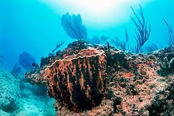 giant barrel sponge, Xestospongia muta, .and gorgonians, Gorgonia sp., .Captain Keith's Reef, Key Biscayne, .Miami, Florida (Atlantic).