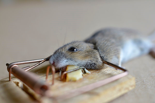 Nederland, Nijmegen, 2-11-2012Regelmatig vinden we een dode muis in de muizenval op zolder. Via een gaatje in het dak komen ze binnen.A dead mouse trapped in traditional wooden mousetrap with cheese.Foto: Flip Franssen/Hollandse Hoogte