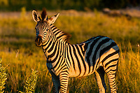 Baby zebra (foal), Kwando Concession, Linyanti Marshes, Botswana.