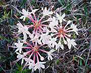 Spring bloom of pink azalea, Rhododendron periclymenoides, Little River Canyon National Preserve, Alabama.