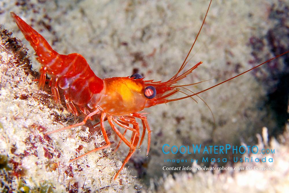 red night shrimp, Rhynchocinetes rigens, Looe Key, Florida Keys National Marine Sanctuary, Atlantic Ocean