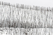 A snowy hillside near Yellowstone Lake shows is covered in dead trees from a forest fire.  Winter scene.