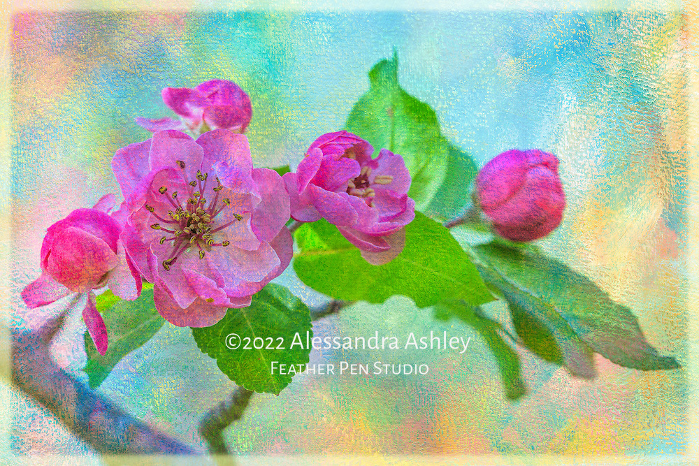 Double pink crabapple blooms cover tree branches, signaling spring's arrival.  Original macro photograph composited with pastel hued watercolor texture.