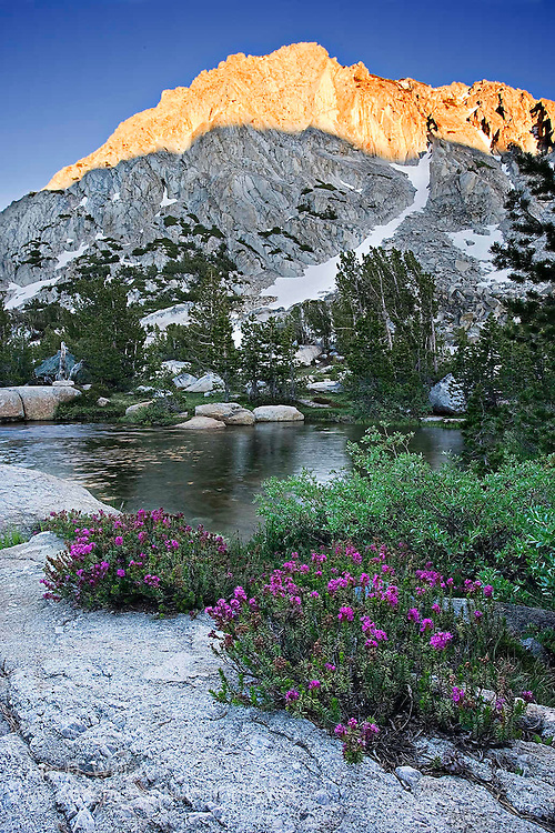 Sunrise.  Indian paint bush grows along a high mountain stream adjacent to Vogelsang Peak in the Cathedral Range of Yosemite National Park in the High Sierras