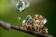 Mottled Umber (Erannis defoliaria) in rain. Biosphere Reserve 'Niedersächsische Elbtalaue' (Lower Saxonian Elbe Valley), Germany | Großer Frostspanner (Erannis defoliaria)
