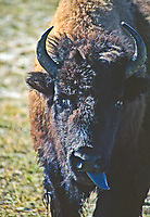 Bison (Bison bison) The blue-gray tongue of a bison.