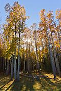 Aspen grove in autumn in Jasper National Park