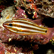 Striped Cardinalfish inhabit caves and crevices in reefs. Picture taken Raja Ampat, Indonesia.
