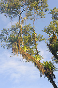 Epiphytes, ferns, orchids and bromeliads grow on a tree on th edge of the tropical rainforest on the Osa Peninsula. Drake Bay, Corcovado National Park, Golfito, Costa Rica. 28Nov13