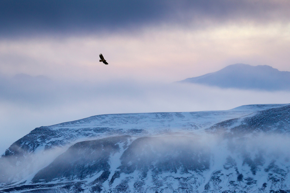 White-tailed eagle (Haliaeetus albicilla) in flight over mountain landscape at dusk, Iceland, January 2014