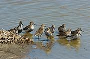 Dunlin, Calidris alpina, Elmley National Nature Reserve, UK, roosting, open water, group, flock. D2h. United Kingdom. Digital. Grazing marsh. 200-400mm. Elmley. Dunlin. Calidris alpina.
