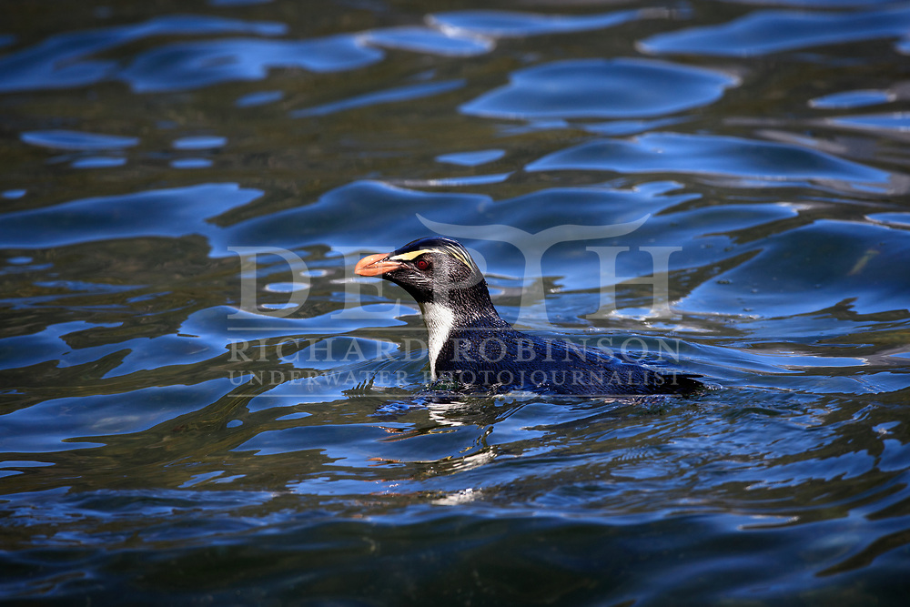 A Tawaki, also known as the he Fiordland crested penguin (Eudyptes pachyrhynchus) in Milford Sound, New Zealand.<br /> 06 October 2016.<br /> Photograph Richard Robinson © 2016