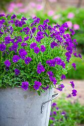 Viola x cornuta 'Martin' AGM growing in a galvanised container