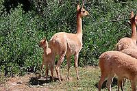 VICUNAS (Vicugna vicugna) EN UN CRIADERO, MADRE Y CHULENGO, UQUIA, QUEBRADA DE HUMAHUACA, PROV. DE JUJUY, ARGENTINA..Vigogne (Vicugna vicugna), femmina mentre mangia e cucciolo in un allevamento, Argentina