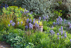 Spring border at Glebe Cottage including Camassias, Carex elata 'Aurea', Euphorbia palustris, Narcissus jonquilla 'Flore Pleno' and Elaeagnus. Hakonechloa macra 'Aureola' in terracotta pot