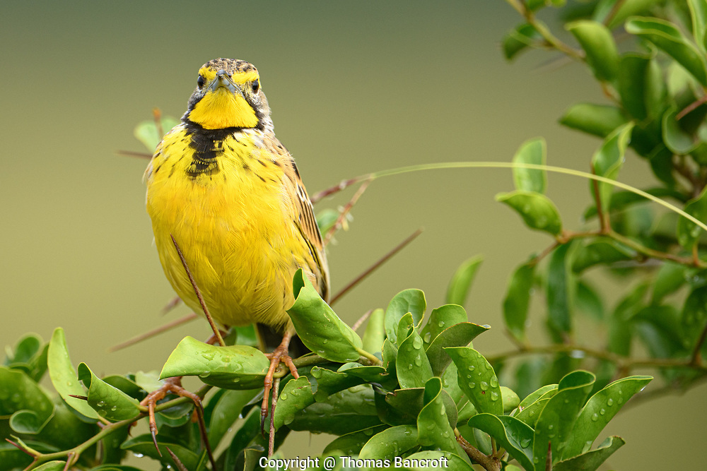 The Yellow-throated Longclaw glared right at me as if it was telling me to get busy and protect more bird habitat.