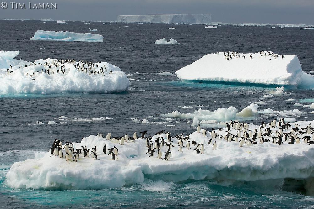Adelie Penguins on icebergs in the vicinity of Heroina Island, Danger Islands, Weddell Sea