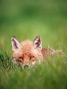 Adult red fox in open grassland