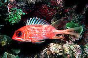 UNDERWATER MARINE LIFE CARIBBEAN, Virgin Islands Fish; Squirrelfish Holocentrus rufus