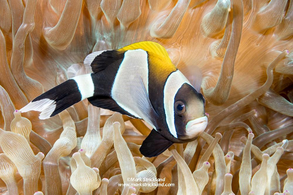 Widestriped anemonefish, Amphiprion latezonatus, Lord Howe Island, Australia, Tasman Sea, Pacific Ocean