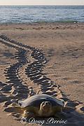 Australian flatback sea turtle ( Natator depressus ) female climbs beach in order to nest, leaving tractor-like tracks behind her, Crab Island, off Cape York Peninsula, Torres Strait, Queensland, Australia