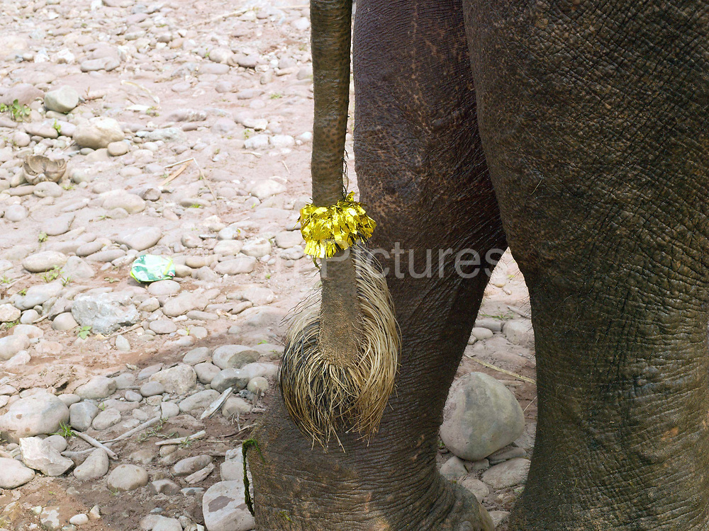 A domesticated Asian elephant with a tinsel decorated tail ready for the procession at the annual Sayaboury elephant festival, Sayaboury province, Lao PDR. Originally created by ElefantAsia in 2007, the 3-day elephant festival takes place in February in the province of Sayaboury with over 80,000 local and international people coming together to experience the grand procession of decorated elephants. It is now organised by the provincial government of Sayaboury.The Elephant Festival is designed to draw the public's attention to the condition of the endangered elephant, whilst acknowledging and celebrating the ancestral tradition of elephant domestication and the way of life chosen by the mahout. Laos was once known as the land of a million elephants but now there are fewer than 900 living in the country. Around 470 of them are in captivity, traditionally employed by a lucrative logging industry. Elephants are trained and worked by a mahout (handler) whose relationship to the animal is often described as a marriage and can last a lifetime. But captive elephants are often overworked and exhausted and as a consequence no longer breed. With only two elephants born for every ten that die, the Asian elephant, the sacred national emblem of Laos, is under serious threat of extinction.