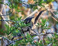 Anhinga (Anhinga anhinga). Clyde Butcher Swamp Bungalow. Image taken with a Nikon D4 camera and 80-400 mm VRII lens.