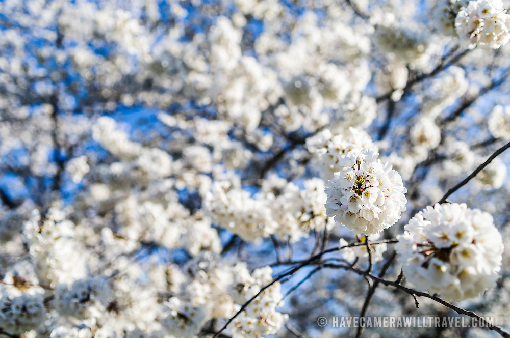 A close-up shot of the white Cherry Blossoms on some of the 1,678 Cherry Blossom trees ringing the Tidal Basin in Washington DC.
