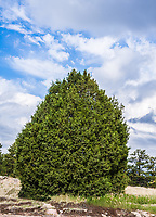 Rocky mountain juniper, Castlewood Canyon State Park, Colorado.