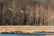 Goshen, New York - Canada geese fly away from a wetland on March 17,  2015.