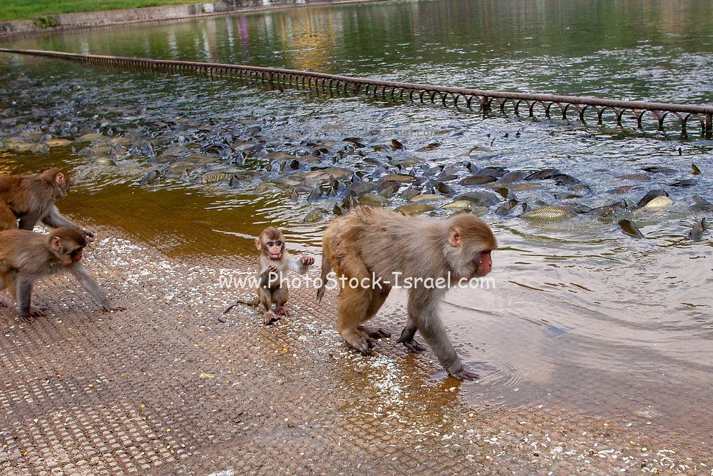 Rhesus macaque (Macaca mulatta) Monkeys on the banks of the Ganges River at Haridwar, Haridwar is a city and municipal corporation in the Haridwar district of Uttarakhand, India. Situated on the right bank of the Ganges river, at the foothills of the Shivalik ranges. Haridwar is regarded as a holy place for Hindus, hosting important religious events and serving as a gateway to several prominent places of worship. Most significant of the events is the Kumbha Mela, which is celebrated every 12 years in Haridwar.