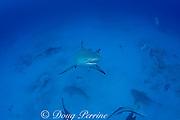 bull shark, Carcharhinus leucas, rises up from seasonal breeding aggregation of females to investigate photographer, Playa del Carmen, Cancun, Quintana Roo, Yucatan Peninsula, Mexico ( Caribbean Sea )