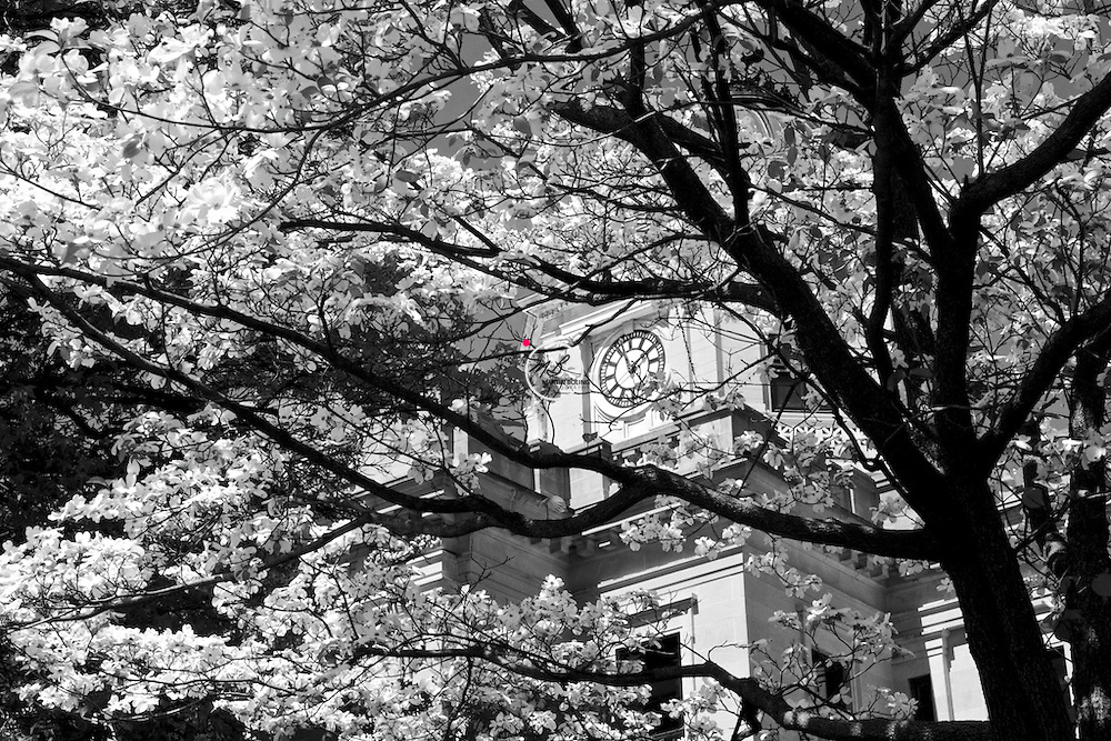 Dogwood in Bloom on Court House Square