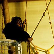 Primates in Captivity at Dublin Zoo, Ireland.