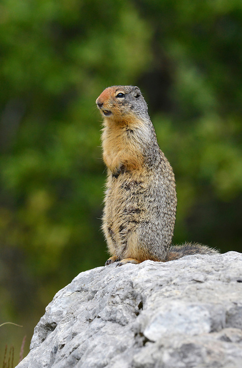 Columbian Ground Squirrel - Urocitellus columbianus