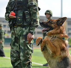 April 29, 2017 - Chongqing, China - A police dog stands at attention waiting for its red ball at a training base in Chongqing, southwest China. (Credit Image: © Cao Feng/Xinhua via ZUMA Wire)