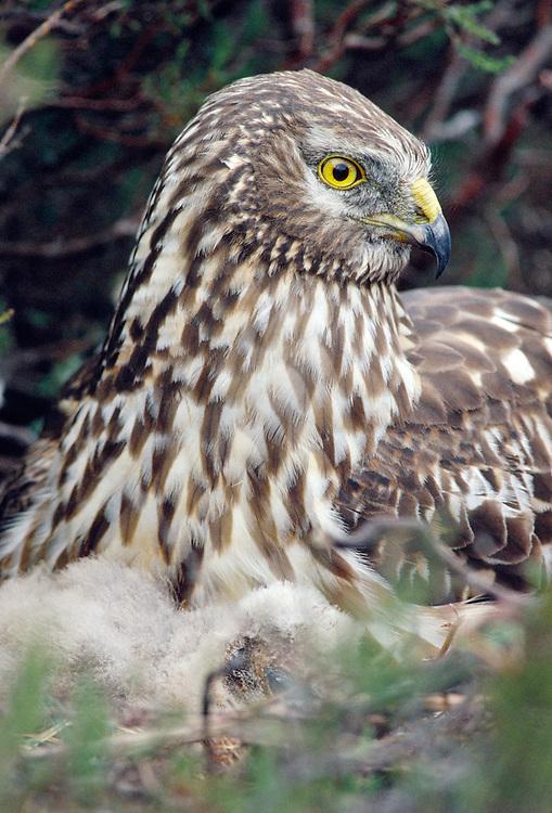 Female Hen Harrier (Circus cyaneus) at nest on moorland,Lochaber, Scotland, June