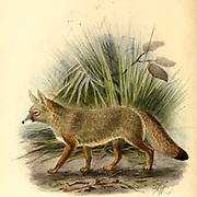 "The Bengal fox (Vulpes bengalensis [Here as Canis bengalensis]), also known as the Indian fox, is a fox endemic to the Indian subcontinent from the Himalayan foothills and Terai of Nepal through southern India, and from southern and eastern Pakistan to eastern India and southeastern Bangladesh. From the Book Dogs, Jackals, Wolves and Foxes A Monograph of The Canidae [from Latin, canis, ""dog"") is a biological family of dog-like carnivorans. A member of this family is called a canid] By George Mivart, F.R.S. with woodcuts and 45 coloured plates drawn from nature by J. G. Keulemans and Hand-Coloured. Published by R. H. Porter, London, 1890"