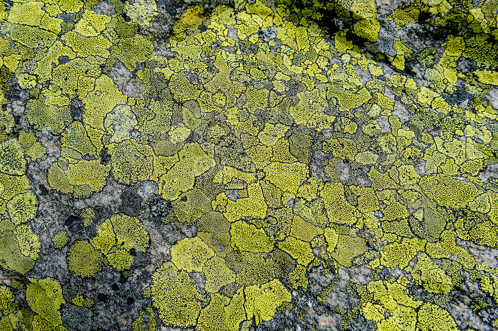 Common map lichen (Rhizocarpon geographicum) growing at about 900 meters elevation at Knaben (Agder, Norway).