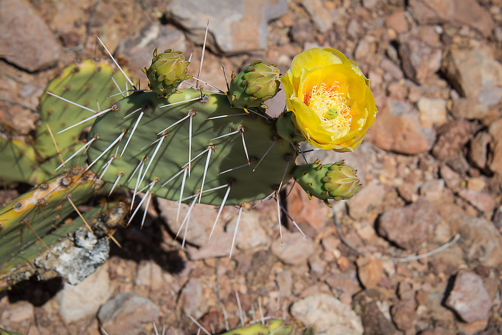 This natural hybrid (Opuntia engelmannii x phaecantha) of two common and local prickly pear cacti - the Engelmann's Prickly Pear (Opuntia engelmannii) and the brown-spined prickly pear (Opuntia phaecantha),  shows characteristics of both and have resulted in a large, mature beautiful cactus growing at some elevation in the Ajo Mountains in Southern Arizona. Since so many of our native members of the Opuntia genus are so closely related and have overlapping natural ranges, hybridization is common among many species, and is the source of much confusion and frustration for biologist and naturalist alike! This particular plant has the beautiful silvery white spines and flower petal shape of O. engelmannii and the flower coloration and growth pattern of O. phaecantha.