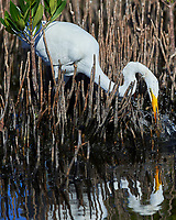 Great Egret (Ardea alba). Merritt Island National Wildlife Refuge, Merritt Island, Florida. Image taken with a Nikon D4 camera and 500 mm f/4 VR lens.
