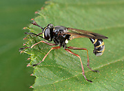 Close-up of a Thick-headed fly (Conops quadrifasciatus) resting on a leaf in a Norfolk woodland habitat in summer.