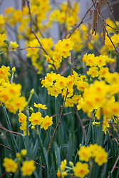 Narcissus 'Grand Soleil d'Or'