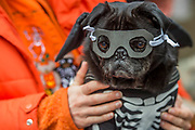 Odin the Pug in disguise - A charity Halloween Dog Walk and Fancy Dress Show organised by All Dogs Matter at the Spaniards Inn, Hampstead. London 29 Oct 2017.