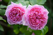 Rosa 'Jacques Cartier' in the Italian Garden at Chiswick House Gardens, Chiswick House, Chiswick, London, UK