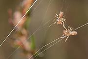 Purse web spiderlings (Atypus affinis) dispersing. Surrey, UK.