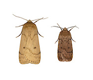 73.103 (2392)<br /> Marsh Moth - Athetis pallustris<br /> left= male<br /> right= male