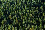 Evergreen coniferous forest in Picos de Europa mountains - Peaks of Europe - in Castilla y Leon, Northern Spain