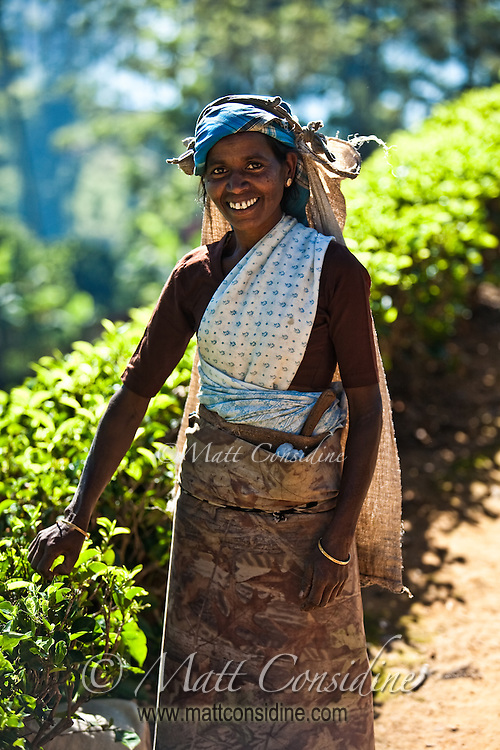 Picking tea is hard work, but is carried out with an elegant grace and dignity.<br /> (Photo by Matt Considine - Images of Asia Collection)