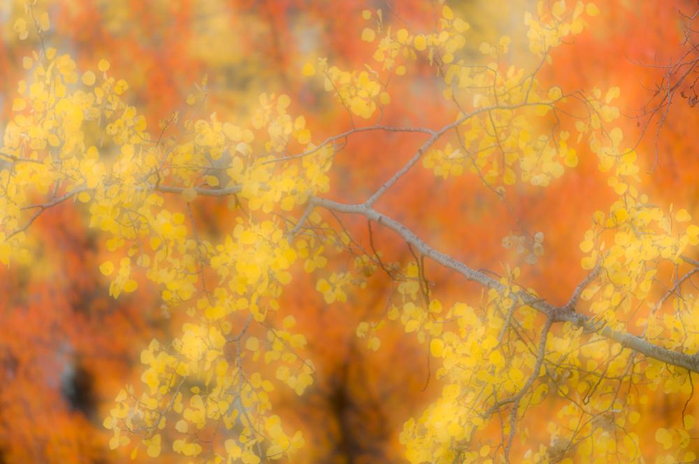Autumn aspen leaves, Okanogan National Forest, Washington, USA
